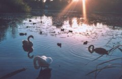 Swans at sunset on Kilmardinny Loch in Bearsden, Scotland